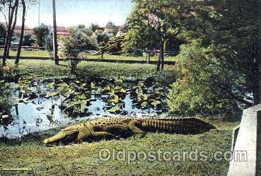 ani002002 - Florida USA Alligator Animal Postcard Post Card