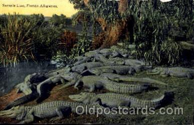 ani002007 - Florida USA Alligator, Animal Postcard Post Card