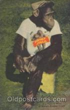 ani001119 - The Chimp, at Miami's Monkey Jungle Animal Postcard Post Card