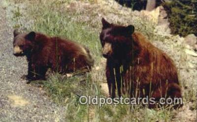 ber001243 - Bear Bears Postcard Post Card Old Vintage Antique