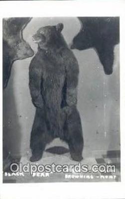 ber001620 - Museum, Browing Montana USA Bear Postcard,  Bear Post Card Old Vintage Antique