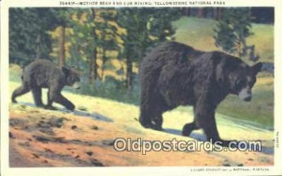 ber001647 - Yellowstone National Park Bear Postcard,  Bear Post Card Old Vintage Antique