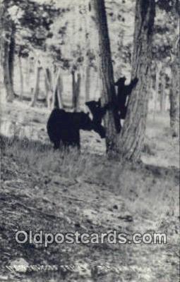 ber001704 - Alpena, Michigan, USA Bear Postcard,  Bear Post Card Old Vintage Antique