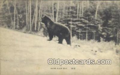 ber001742 - Maine Black Bear, Bear Postcard Post Card Old Vintage Antique