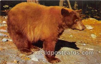 ber002179 - American Black Bear Yosemite National Park, California Postcard Post Card
