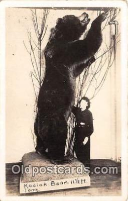 ber002237 - Kodiak Bear, 11 1/2 Feet Long  Postcard Post Card