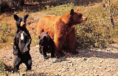 ber007455 - Bear Post Card Old Vintage Antique