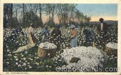 Picking Cotton near Birmingham, ALA, USA