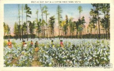 bla001430 - A cotton Field Down South Black, Blacks Postcard Post Card
