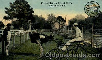 bla001555 - Ostrich Farm, Jacksonville, Florida, USA Black, Blacks Post Card Post Card