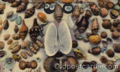bor001052 - Florida sea shells, Mexico Gulf Shells, Shell Border, Postcard Post Card