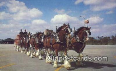 bre001227 - Budweiser Clydesdale 8 Horse Team Tampa, Florida, USA Postcard Post Cards Old Vintage Antique