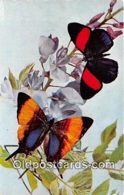 but000015 - Tropical Butterflies Catagramma & Megalura Postcard Post Card