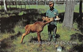 bbb001096 - Calf Moose Fort William, Ontario, Canada Postcard Post Card