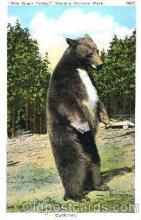 ber001001 - Sequoia National Park, California, Bear Bears Postcard Post Card