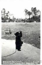 ber001005 - Okefenokee Swamp Park, Waycross, GA USA, Bear Bears Postcard Post Card