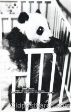 ber001051 - Giant Panda, Chicago, USA Bear, Bears, Postcard Post Card