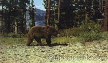 ber001087 - Black Bear Bear, Bears, Postcard Post Card