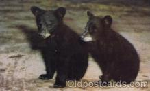 ber001088 - Black Bear Cubs Bear, Bears, Postcard Post Card