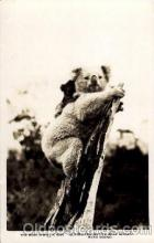 ber001126 - Australian Native Bear, Koala Bear Bears Postcard Post Card Old Vintage Antique
