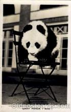 ber001131 - Giant Panda (Ming) Bear Bears Postcard Post Card Old Vintage Antique