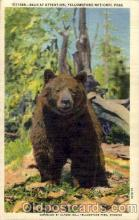 ber001139 - Yellowston National Park, USA Bear Bears Postcard Post Card Old Vintage Antique