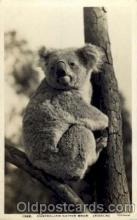 ber001144 - Australian Native Bear, Koala Bear Bears Postcard Post Card Old Vintage Antique