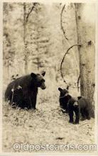 ber001152 - Black Bear & Cubs Bear Bears Postcard Post Card Old Vintage Antique
