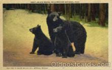 ber001159 - Yellowston National Park, USA Bear Bears Postcard Post Card Old Vintage Antique