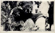 ber001165 - Bear Bears Postcard Post Card Old Vintage Antique