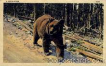 ber001181 - Bear Bears Postcard Post Card Old Vintage Antique