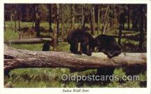 ber001192 - Native Wild Bear Bears Postcard Post Card Old Vintage Antique