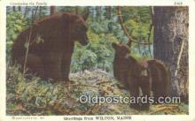 ber001198 - Wilton Maine, USA Bear Bears Postcard Post Card Old Vintage Antique