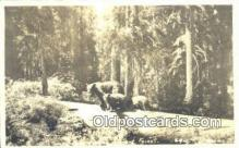 ber001200 - Sequoia National Park Bear Bears Postcard Post Card Old Vintage Antique