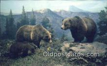 ber001213 - Colorado Grizzly Bear Exhibit USA Bear Bears Postcard Post Card Old Vintage Antique