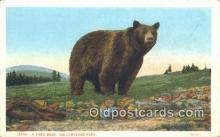 ber001221 - Yellowstone Park Bear Bears Postcard Post Card Old Vintage Antique