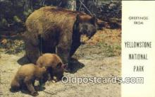 ber001231 - Yellowstone Park Bear Bears Postcard Post Card Old Vintage Antique