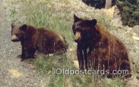 ber001232 - American Black Bear Bears Postcard Post Card Old Vintage Antique