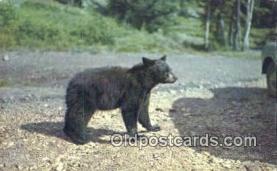 ber001234 - Bear Bears Postcard Post Card Old Vintage Antique