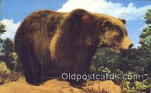 ber001239 - Bear Bears Postcard Post Card Old Vintage Antique