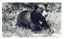 ber001244 - Bear Bears Postcard Post Card Old Vintage Antique