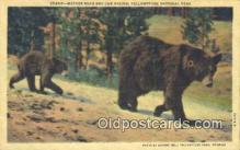 ber001246 - Yellowstone Park Bear Bears Postcard Post Card Old Vintage Antique