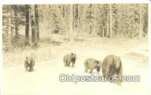 ber001264 - Black Bear Bears Postcard Post Card Old Vintage Antique