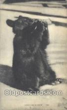 ber001272 - Lunch Time in Maine Bear Bears Postcard Post Card Old Vintage Antique