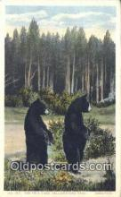 ber001292 - Yellowstone Park, Wyoming Bear Bears Postcard Post Card Old Vintage Antique
