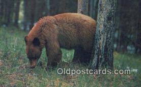 ber001308 - Bear Bears Postcard Post Card Old Vintage Antique