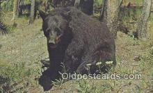 ber001310 - Yellowstone Park Bear Bears Postcard Post Card Old Vintage Antique