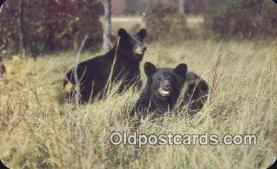 ber001311 - Bear Bears Postcard Post Card Old Vintage Antique