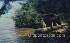 ber001313 - Bear Bears Postcard Post Card Old Vintage Antique