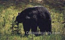 ber001315 - Yellowstone Park, Wyoming Bear Bears Postcard Post Card Old Vintage Antique